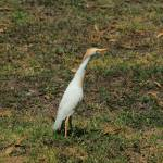 """Cattle Egret in a Pasture on a Farm"" by rhamm"