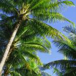 """Hawaiian Coconut Palms"" by joeyartist"