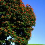 """African Tulip Tree"" by joeyartist"