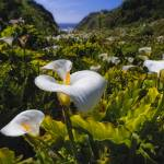 """Coastal California Lilies"" by George_Oze"