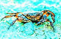 Teal Blue Crab