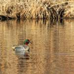 """Male Green Winged Teal IMG_6260"" by rayjacque"