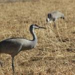 """Sand Hill Crane IMG_6198"" by rayjacque"