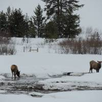 Elk in the Snow Art Prints & Posters by Capturing Nature