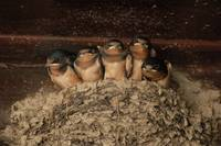 Barn Swallow Nest I