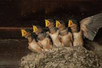 Barn Swallow Nest II