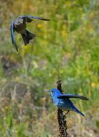 Mountain Bluebird Pair