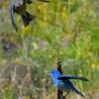 """Mountain Bluebird Pair"" by Dawsonimages"