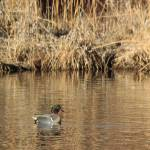 """Male Green Winged Teal IMG_6257"" by rayjacque"