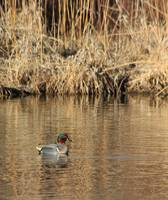 Male Green Winged Teal IMG_6257