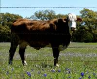 Hill Country Hereford Cow