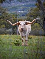White Beauty Texas Longhorn Steer