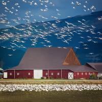 BirdsGeeseBarn-7182-square Art Prints & Posters by Pam Headridge