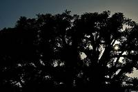 silhouette-tree-chris-brigges[1]