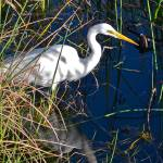 """Great Egret, Sarasota"" by minnron37"