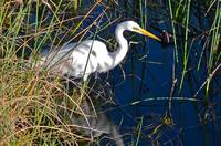Great Egret, Sarasota