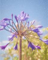 Allium Against The Sky