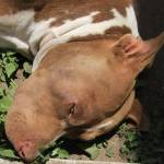 """Pit Bull Dog in a Garden"" by rhamm"