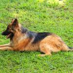 """Brown and Black German Shepherd"" by rhamm"