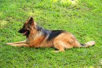 Brown and Black German Shepherd
