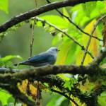 """Blue Gray Tanager on a Branch"" by rhamm"