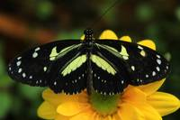 Black and Yellow Butterfly on a Flower