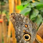 """Owl Butterfly on a Branch"" by rhamm"