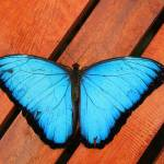 """Blue Morpho Butterfly on Wood"" by rhamm"