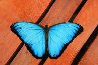 Blue Morpho Butterfly on Wood