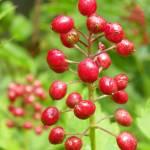 """Red Berries"" by vpicks"
