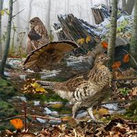 Stunning Quot Ruffed Grouse Quot Artwork For Sale On Fine Art Prints