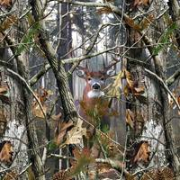 Whitetail in Woods