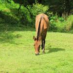 """Brown Horse Grazing in a Pasture"" by rhamm"