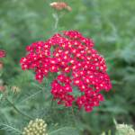 """""""Achillea DSC_1019"""" by TaylorMadeVisions"""