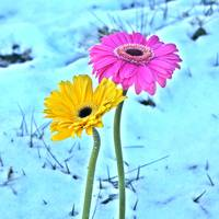 Daisies in Snow