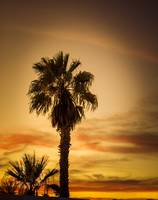 Palm Tree Silhouetted