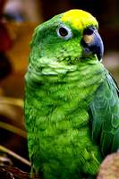 Little green parrot