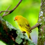 """Yellow canary"" by DanSteeves"
