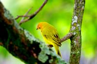Yellow canary of Colombia
