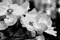 Eastern Dogwood - Cornus florida - Black and White