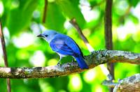 Blue bird of Colombia