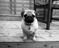 Pug Puppy Monochrome Decking