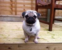 Pug Puppy Colour Decking