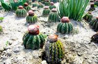 Barrel cactus in the desert