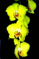 Yellow orchid of Colombia