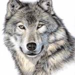 """Siberian Wolf"" by ArtsandDogs"