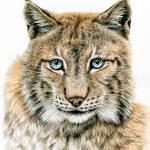 """Lynx"" by ArtsandDogs"