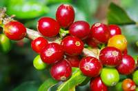 Ripe coffee beans of Colombia
