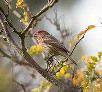 GY0A3576_HouseFinch