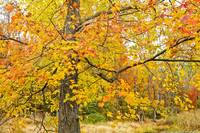 Maple Tree Adorned in Autumn Foliage